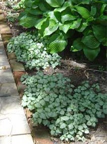 hosta and lamium in shade