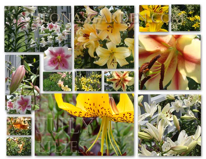 Lilies are July highlights