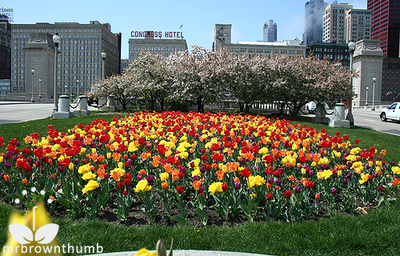 orange yellow red and purple tulips and crabapple trees