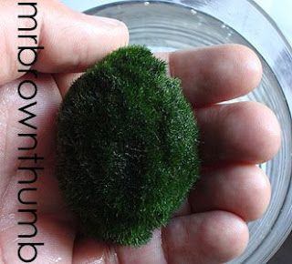 Marimo, Japanese moss ball out of water.