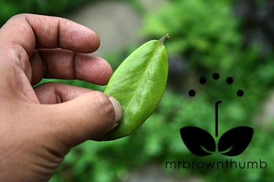 Zz Plant Propagation Mrbrownthumb