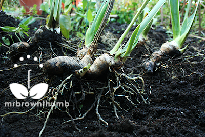 How To Plant Iris Rhizomes In Your Garden Mrbrownthumb