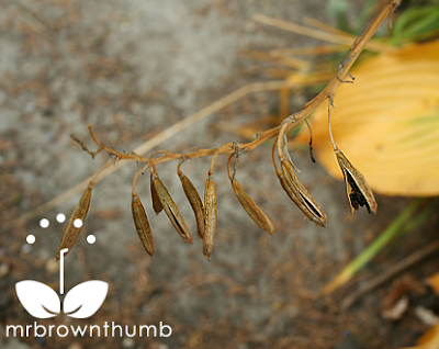 How To Collect Hosta Seeds Mrbrownthumb