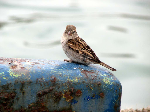 Sparrow, bird on a bollard, Porto Mediceo, Livorno