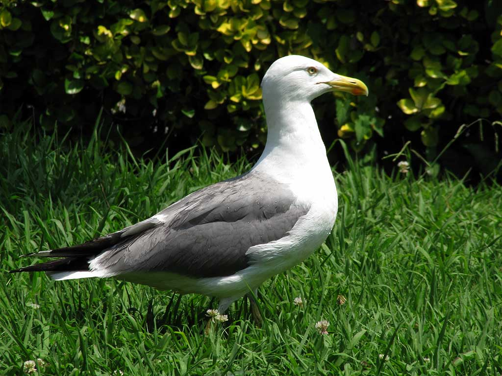 Seagull in the grass, Parterre, Livorno