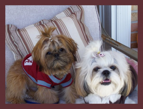teacup shih tzu puppies for sale in ohio imperial shih tzu puppies for sale in ohio