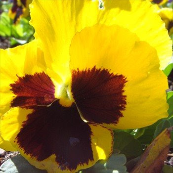 yellow pansy from the dallas botanical gardens