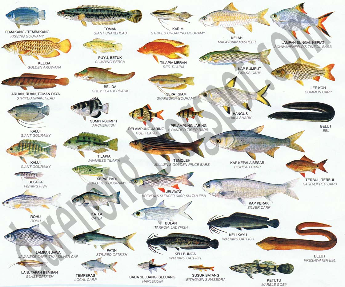 Freshwater fish names freshwater game fish hf67 30 by for Freshwater fishing games