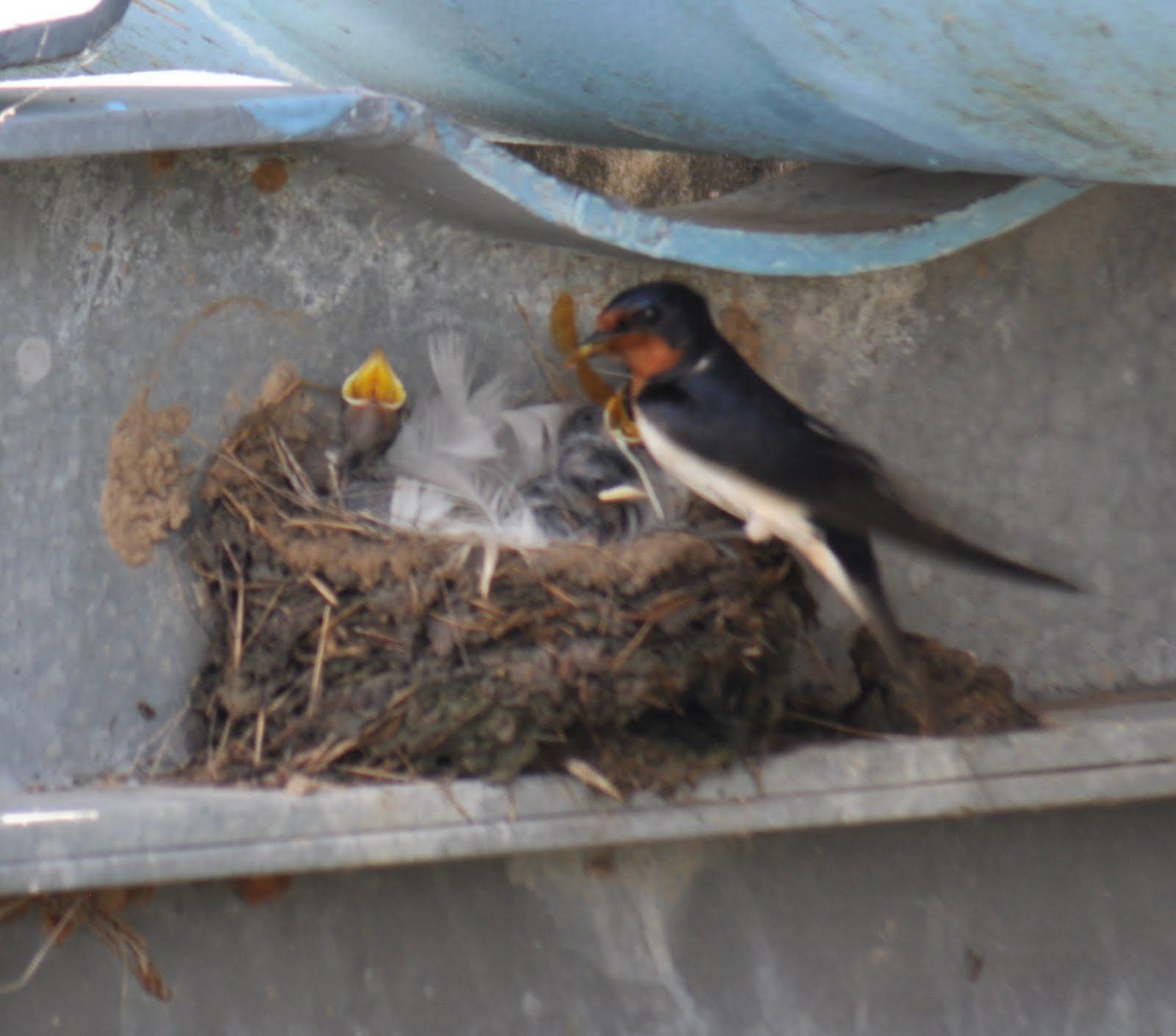 Angela S Photos Carolina Wrens Barn Swallows And Bugs