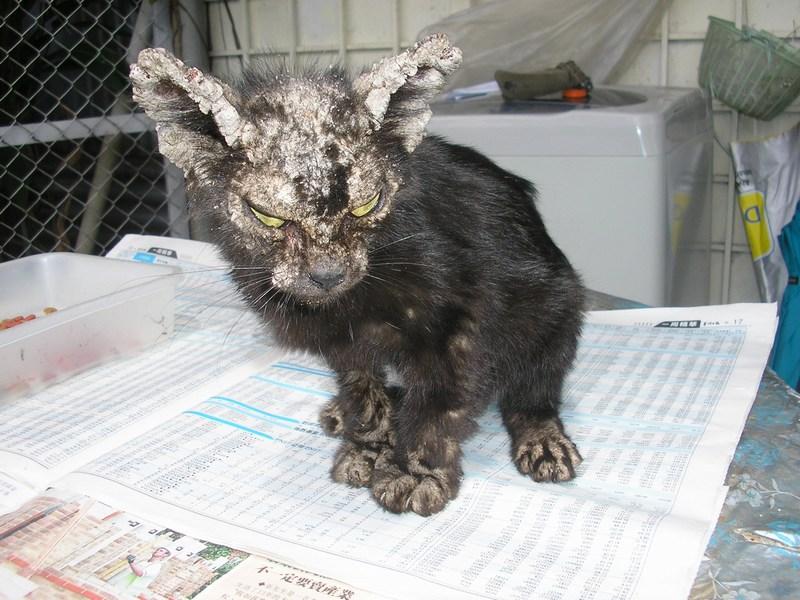 Super Zhou Zhou A Stray Cat With Mange 171 Animalcare