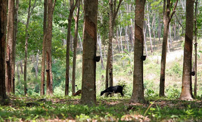 Rubber trees and goats