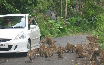 Monkeys besieging another car :)