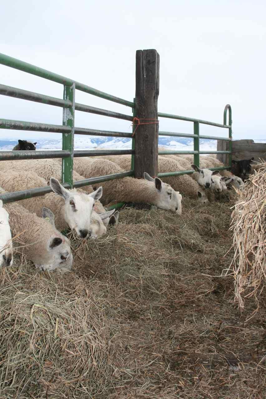 Fence Line Feeder For Sheep Bitterroot Fiber Arts Studio