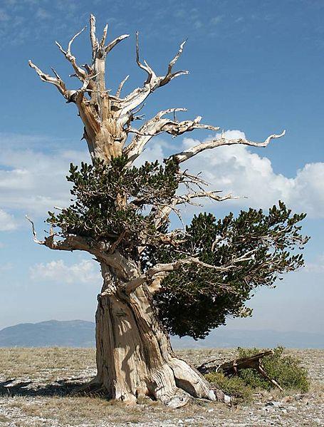 Pohon Umur Paling Tua