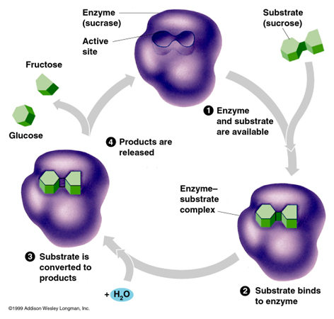 Images of enzymes