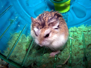 Dwarf Hamster Illnesses And Symptoms
