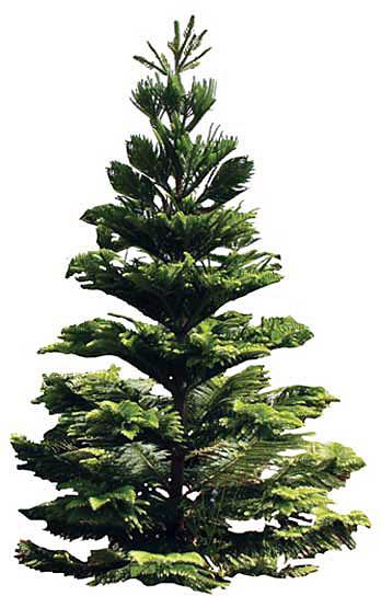 "Kauai Landscaper   No Ka Oi Landscape Services Blog: ""O Tannenbaum - Hawaiian Christmas Tree Story"""