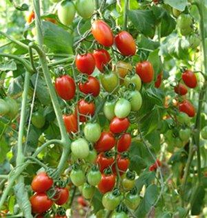http://2.bp.blogspot.com/_BneJWcLoJR0/SECuulblEzI/AAAAAAAAAfU/osuIMTm0DFg/s320/Cherry+tomato4.jpg