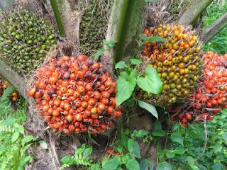 Palm Oil Fruit Tree