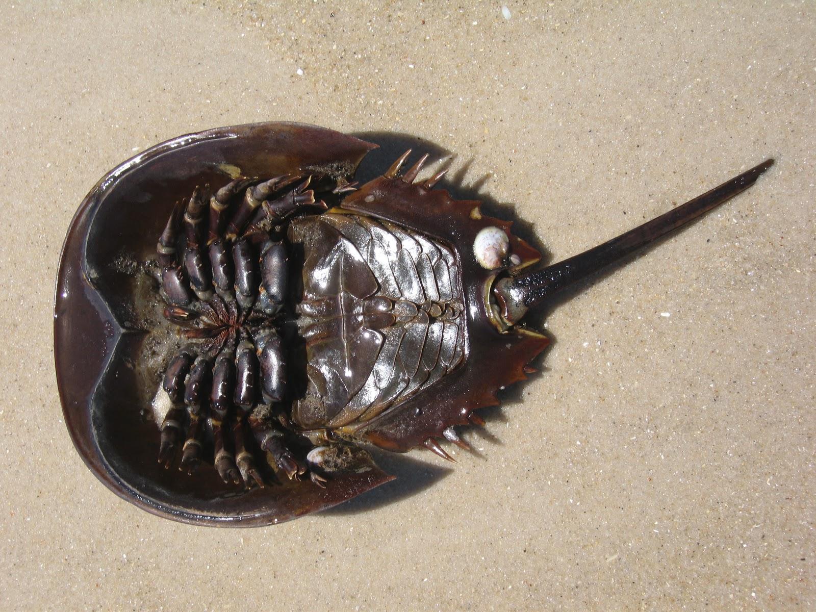 Real Monstrosities: Horseshoe Crab