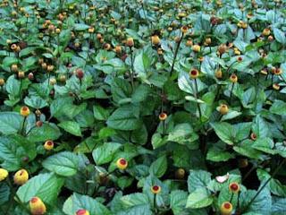 Toothache Plant, Spilanthes acmella