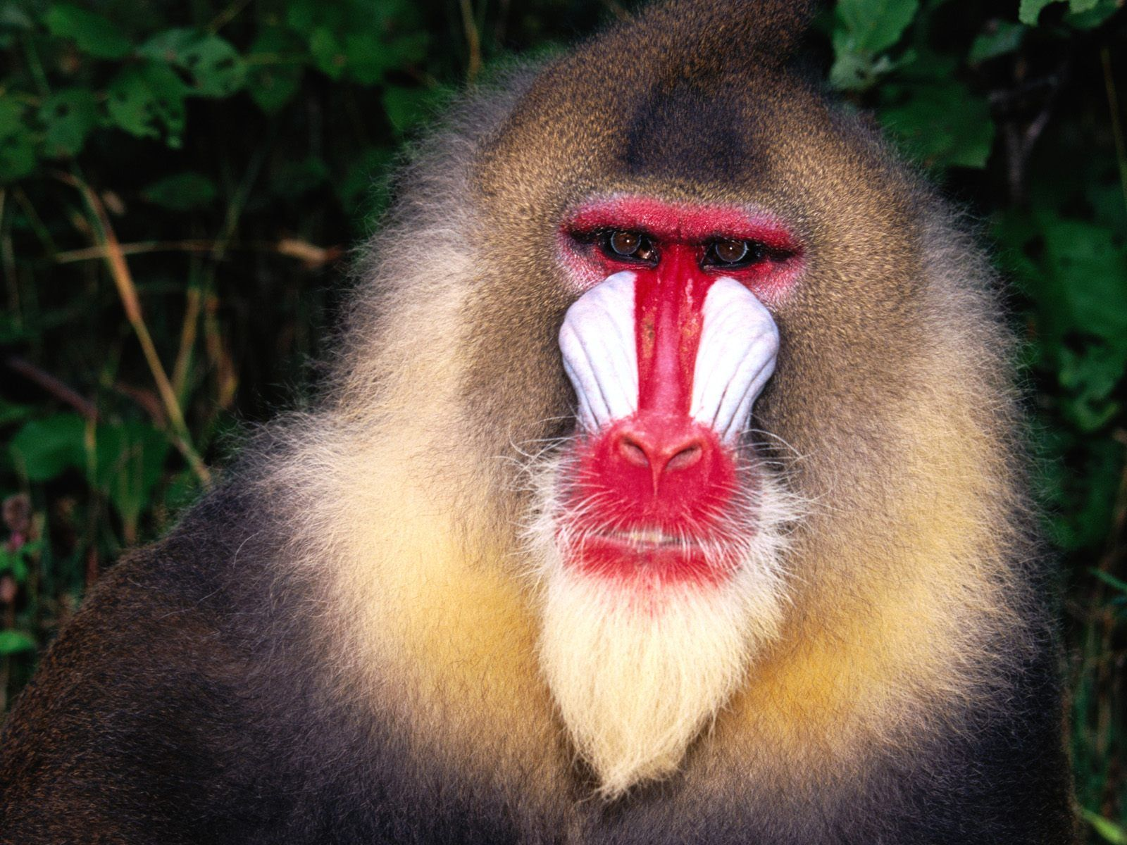 3d animals wallpaper ape - photo #7