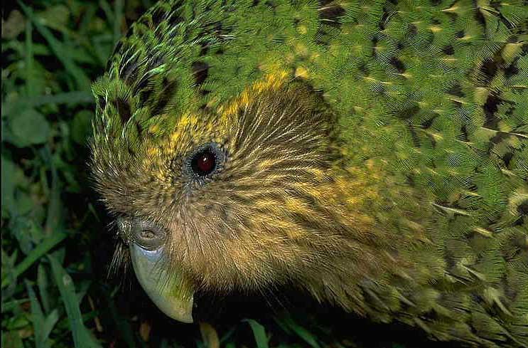 Widening Circle The Kakapo