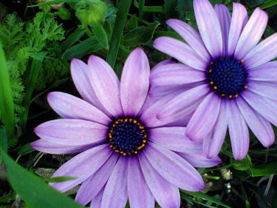 Flores Lavanda Moradas Y Azules Fotografias E Identificacion