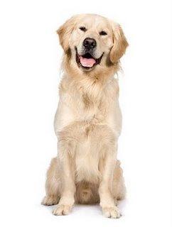 Merawat Anjing Golden Retriever