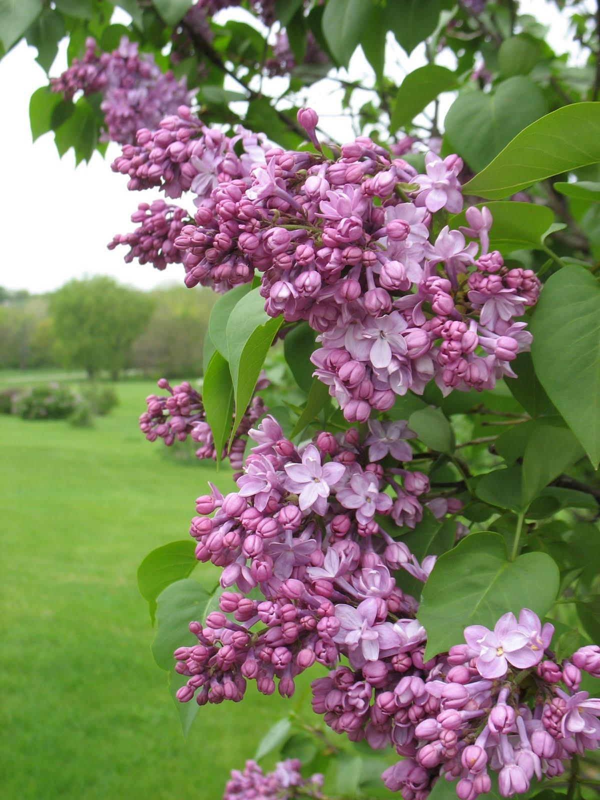 Iowa Grasslands Lilacs