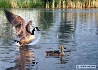 photo d'une bernache et son petit, un oison