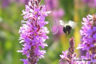 photo de fleurs et d'un taon bourdon en vol