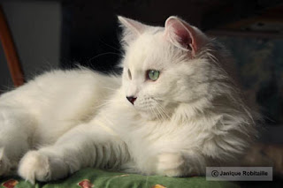 photo animal chat blanc