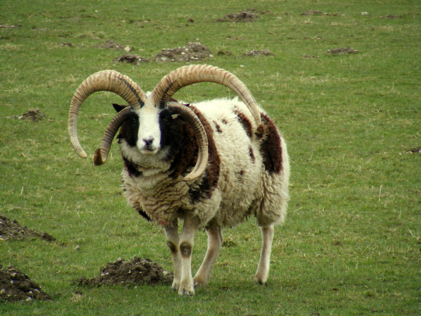 single horned goat Bayreuth
