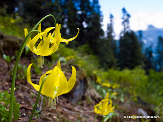 yellow glacier lilly erythronium grandiflorum mcclellan butte hikingwithmybrother