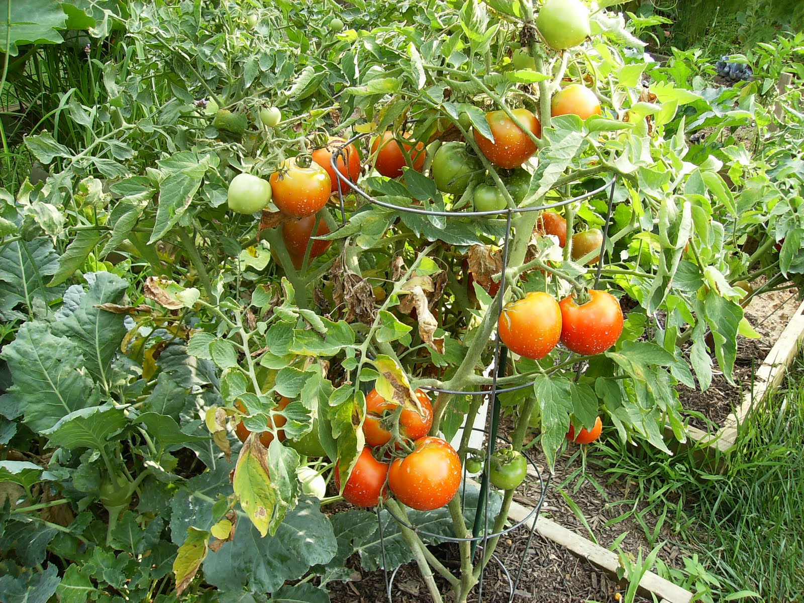 Image Result For Is Celebrity Tomato Determinate