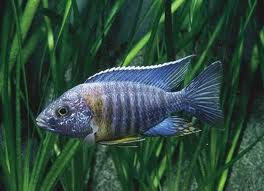 Fish African Cichlids And Exotic Tropical Fish Tanks