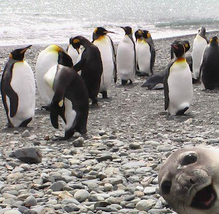 seal photobomb penguin