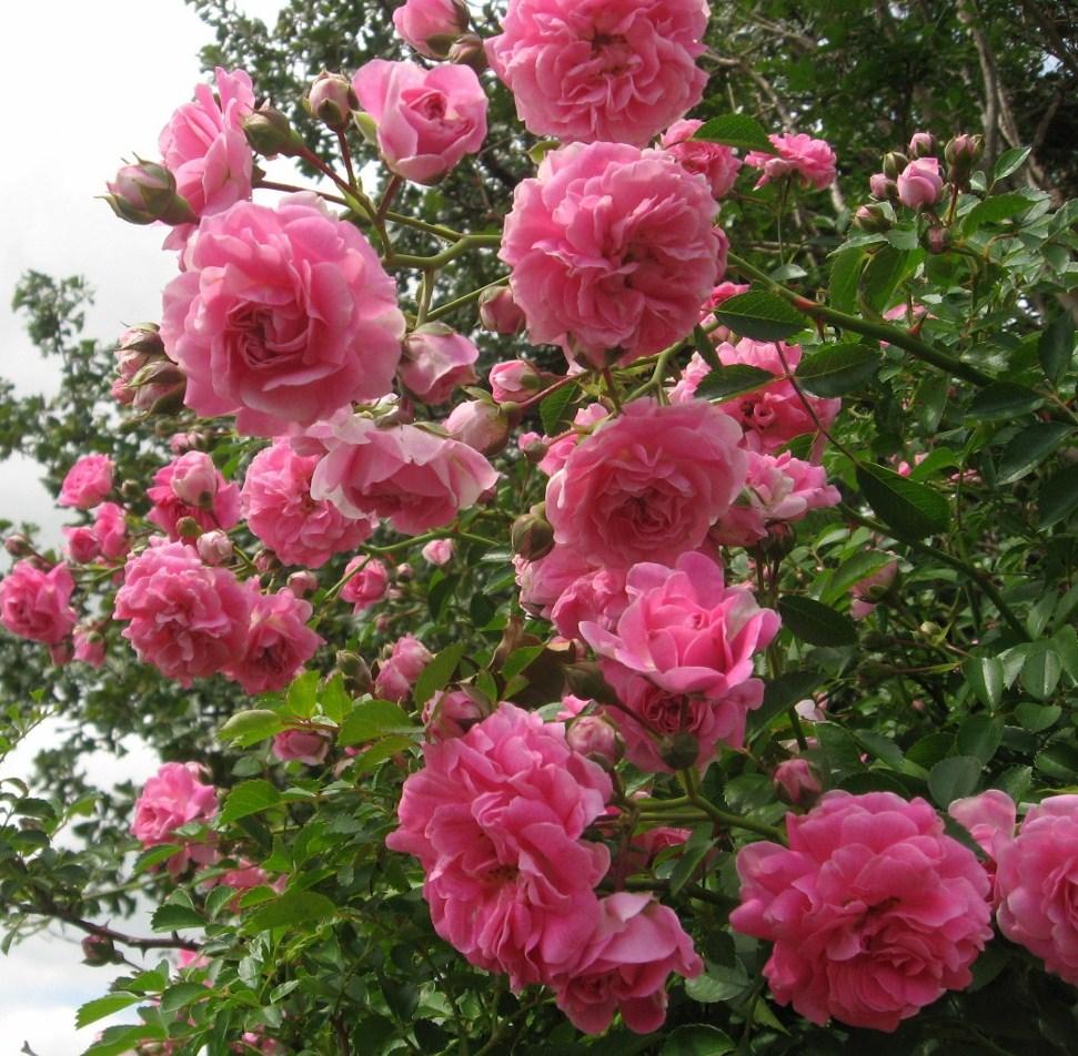 Prairie Places Little Rose Bush On The Prairie