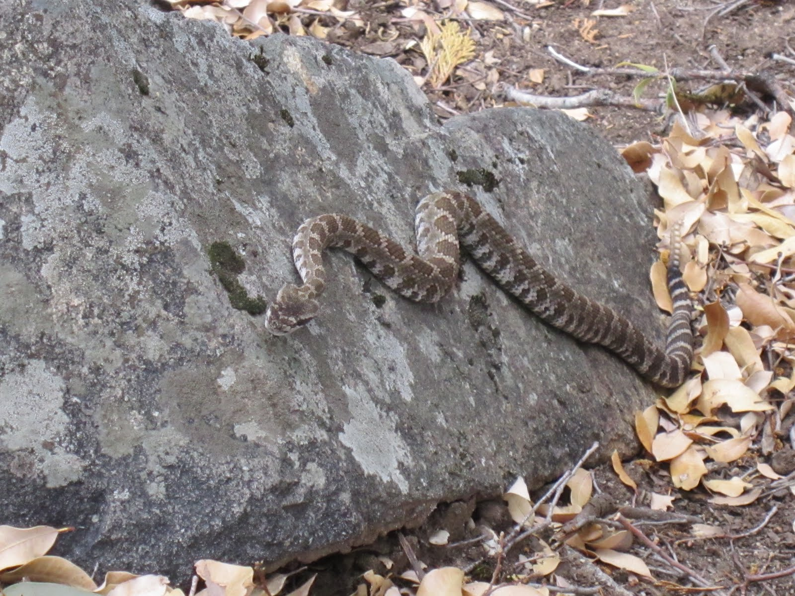 Rattlesnake near the North Fork American River in the Sierra Nevada. (Photo by Gambolin' Man)