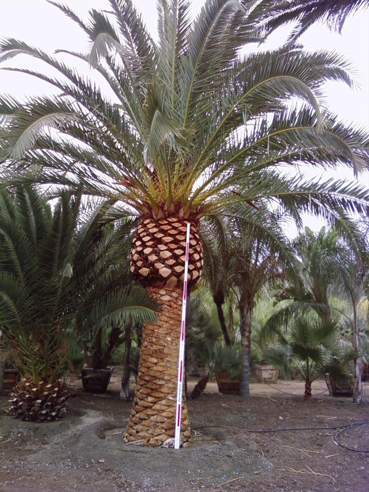 Gregory Palm Farms: WANTED: Canary Island Palm Trees ...