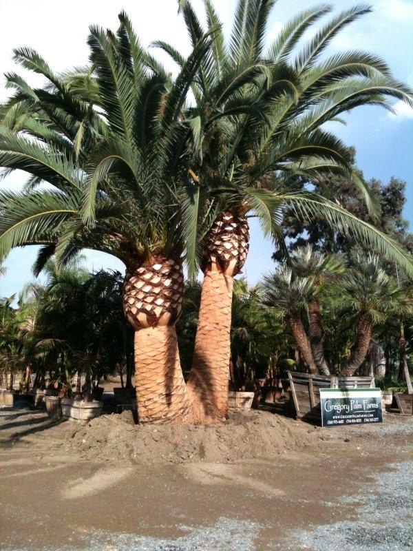 Gregory Palm Farms How Do You Move A 40 000 Lb Canary