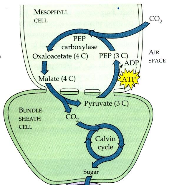 Métodos de superasy para aprender cada parte sobre Metabolismo basal