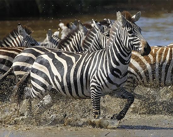 Zebras Running Through Water Wild4 African P...