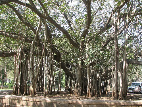 Travellers Tales Banyan Trees in Pune