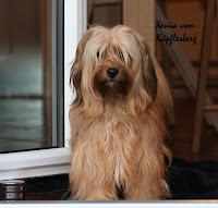 Hundewelpen PEDORO HAVANESER WELPEN ZÜCHTER HAVANESERWELPEN Havaneser kaufen Tel. 02382/803166  Havaneserwelpen mit VDH Papiere kaufen