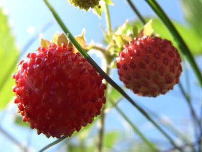 Små vilde jordbær
