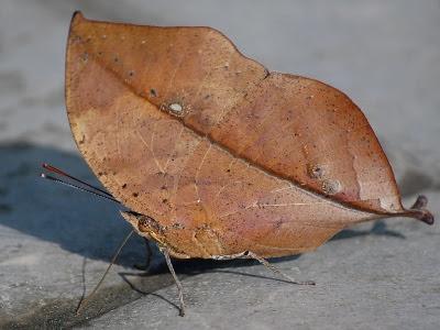 Sommerfugl i efterårs-dragt