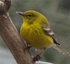 Pine Warbler....One of my more colorful yardbirds in the wintertime