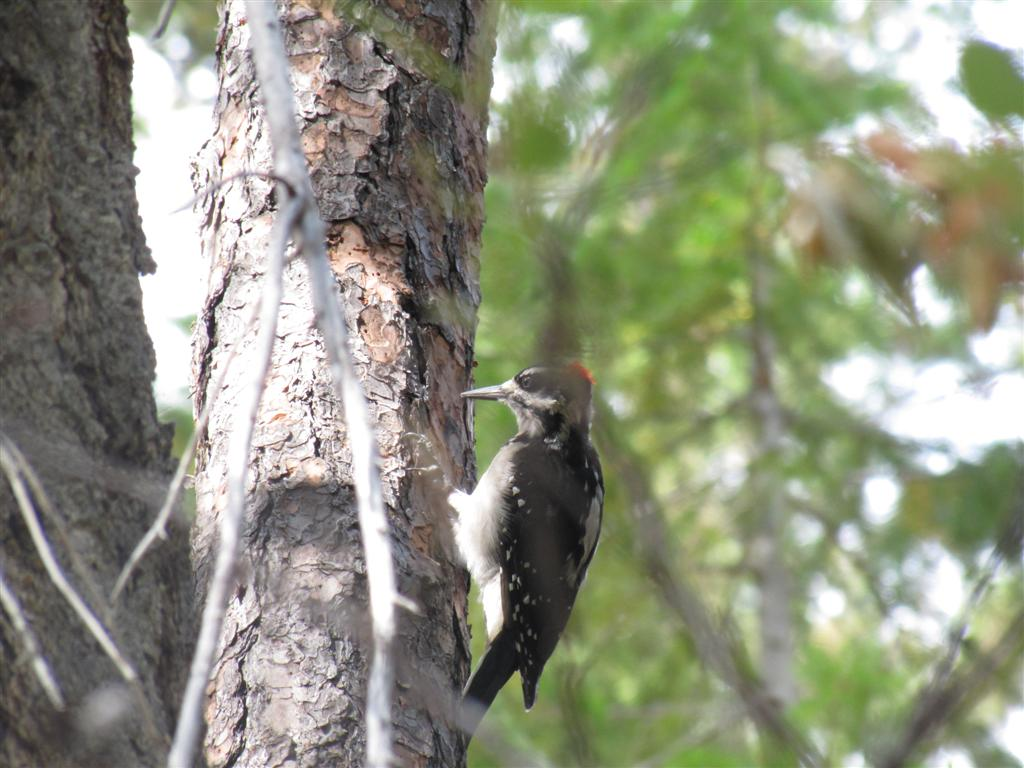 Hairy Woodpecker On The Trail To Coon Lake